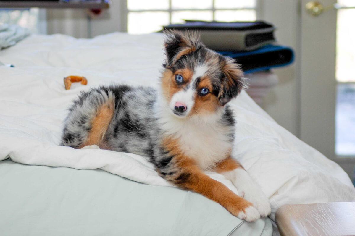 Miniature Australian Shepherd Dog Breed Everything About Mini Aussies
