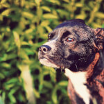 Brindle Miniature Boxer