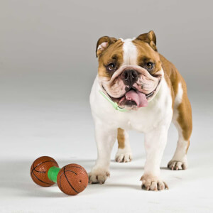 Bulldog vs Miniature English Bulldog » Complete Breed Comparison