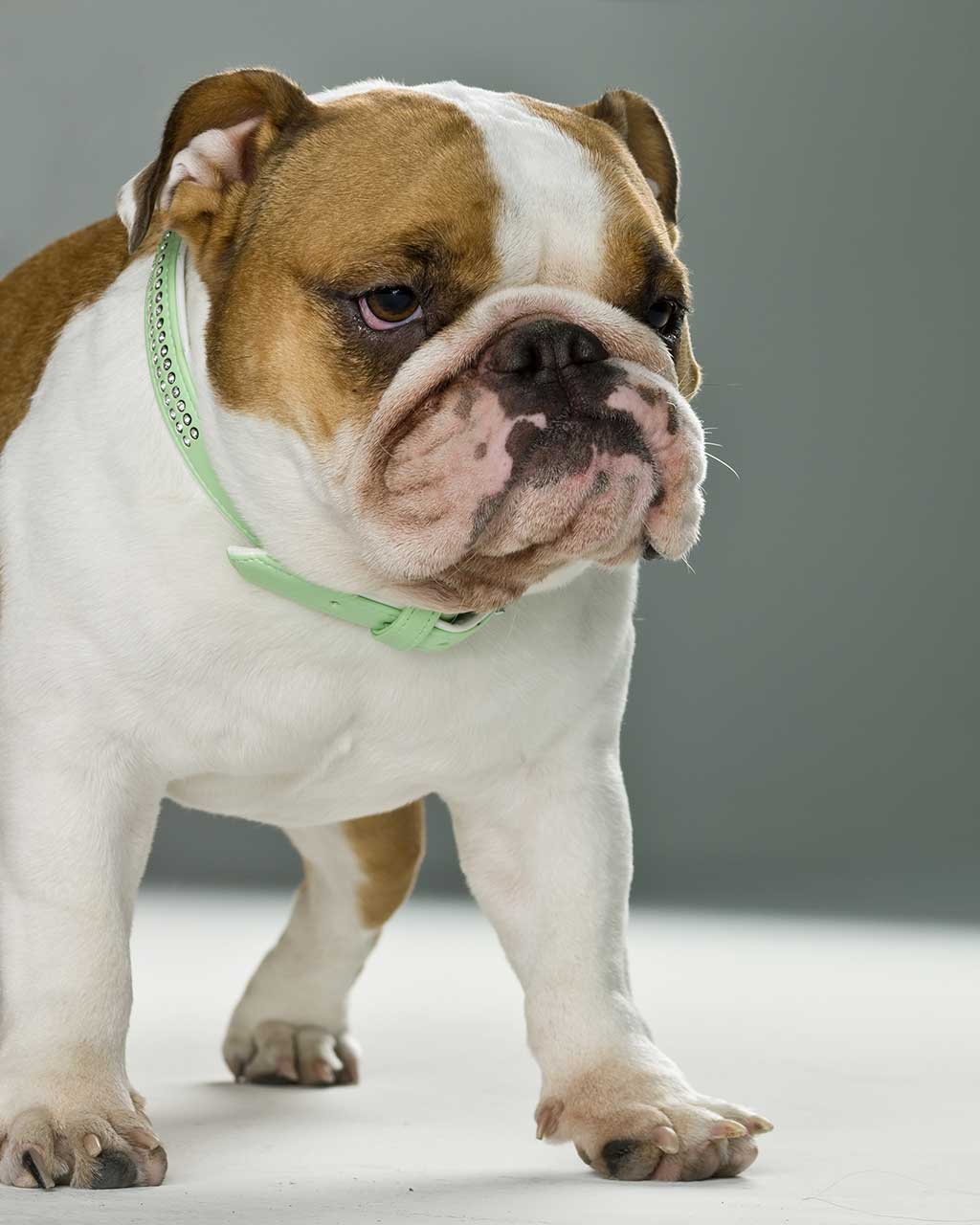 Miniature English Bulldog Dog Breed » Everything About ...