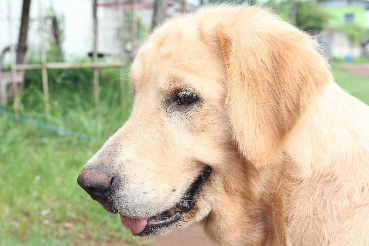 Miniature Golden Retriever Dog Breed » Everything About The Breed