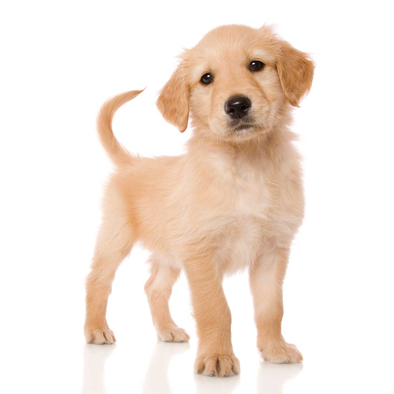 Miniature Golden Retriever Dog Breed » Everything About ...
