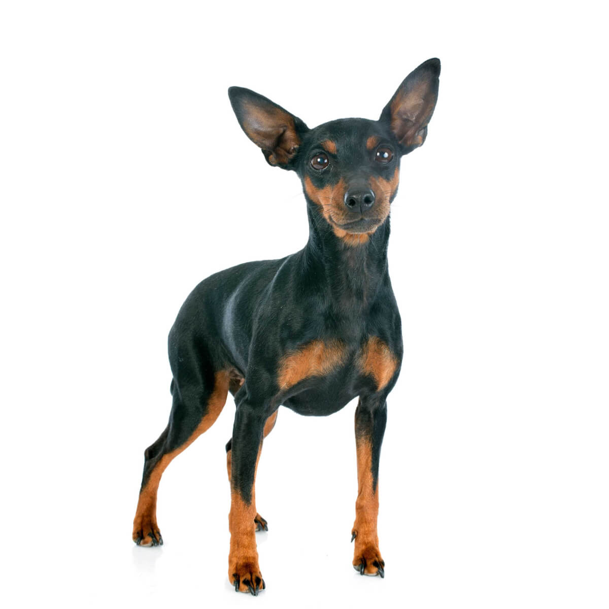 Miniature Pinscher Dog Breed Information Pictures More