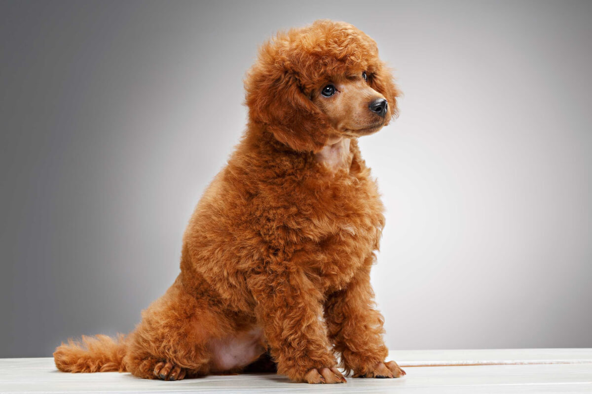 Miniature Poodle Dog Breed 187 Everything About Mini Poodles
