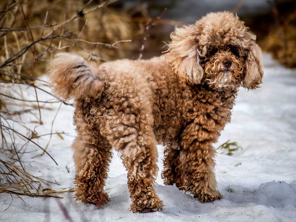 Miniature Poodle Dog Breed Everything About Mini Poodles