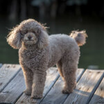 Gray Miniature Poodle