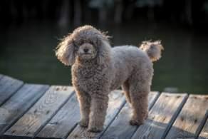 Gray Miniature Poodle