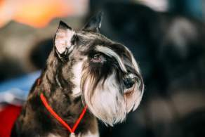 Black & Silver Miniature Schnauzer Head