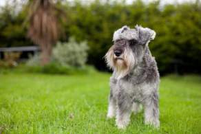 Salt & Pepper Miniature Schnauzer
