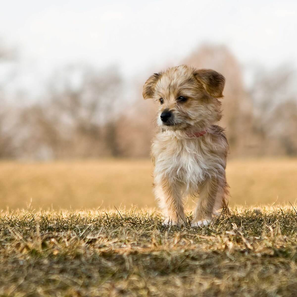 Morkie Dog Breed Everything About Morkies