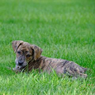 Mountain Cur Puppy in the Grass