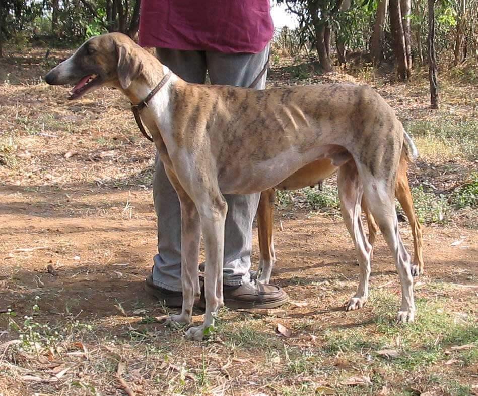 Mudhol Hound Dog Breed 187 Everything About Mudhol Hound