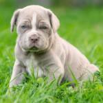 Tawny Neapolitan Mastiff Puppy