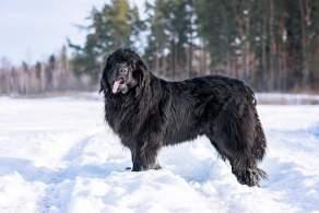 Black Newfoundland Enjoying the Snow