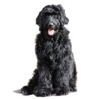 Newfypoo Dog Breed