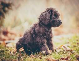 Black Newfypoo Puppy (Newfoundland Poodle Mix)