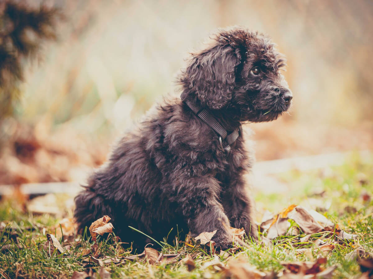 Newfypoo Dog Breed Information Pictures More