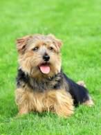 Black & Tan Norfolk Terrier