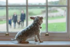 Grizzle Norfolk Terrier