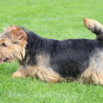 Black & Tan Norfolk Terrier