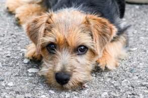Black & Tan Norfolk Terrier Head