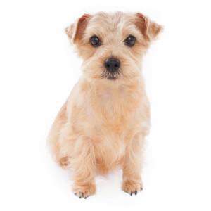 Wheaten Norfolk Terrier