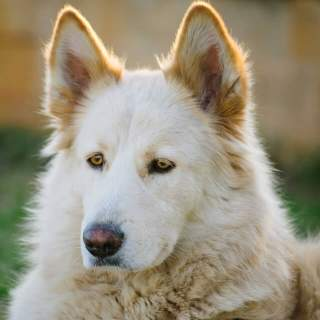 Northern Inuit Dog Sitting Outside