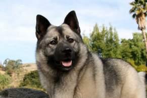 Gray & Black Norwegian Elkhound