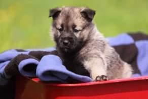 Gray & Black Norwegian Elkhound Puppy