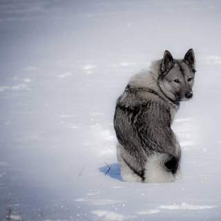 Silver & Black Norwegian Elkhound