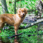 Golden Red Nova Scotia Duck Tolling Retriever