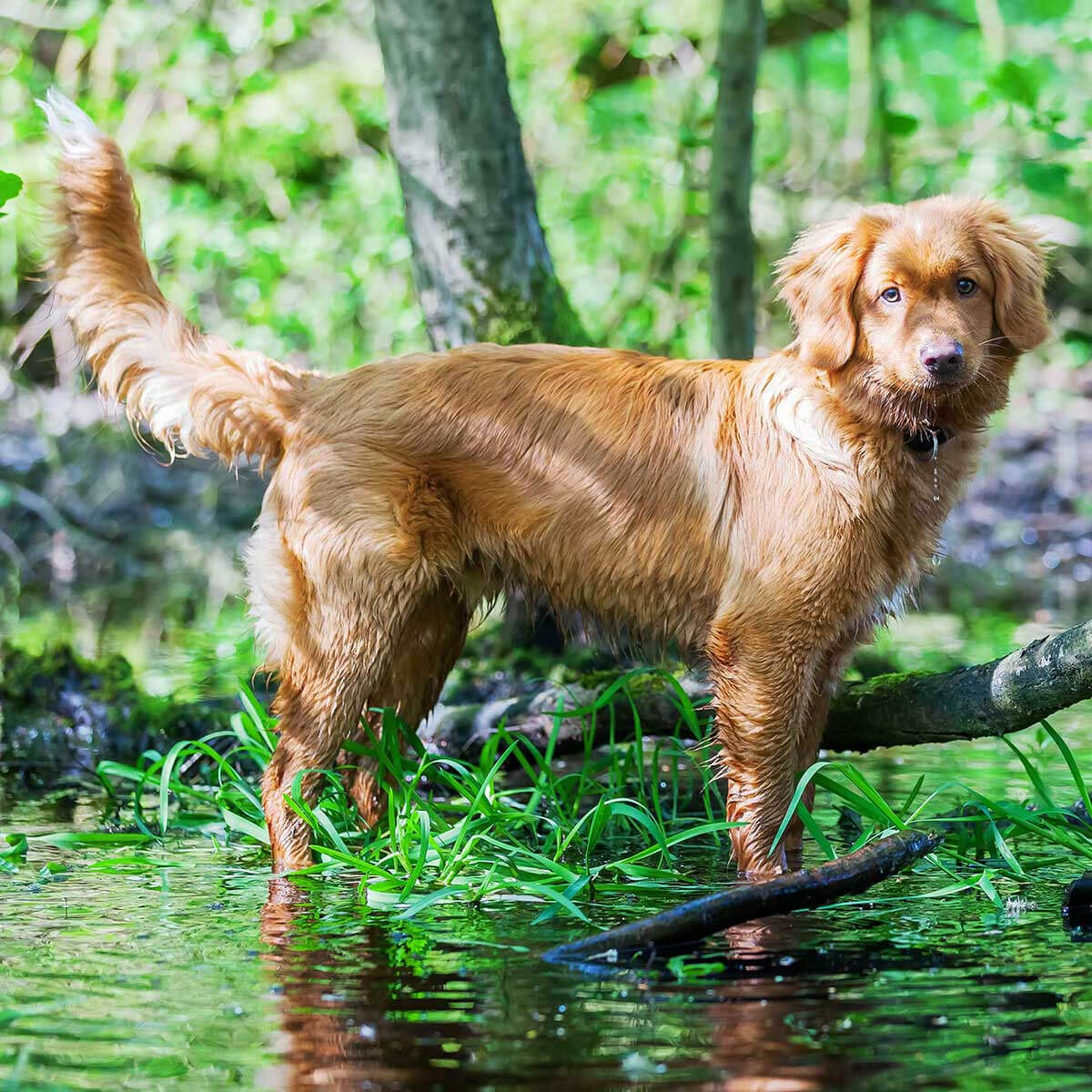 Nova Scotia Duck Tolling Retriever Dog Breed Everything About