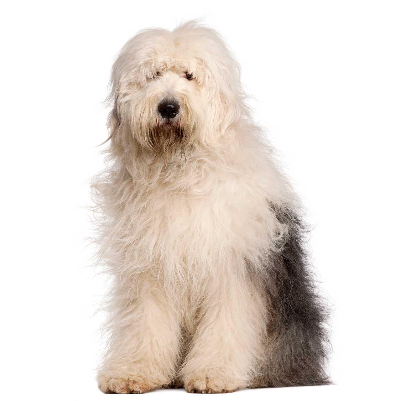 Old English Sheepdog Dog Breed 187 Everything On Old English