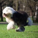Black & White Old English Sheepdog