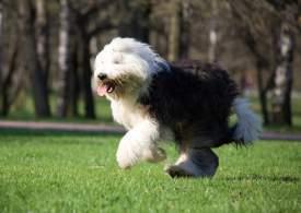 Black & White Old English Sheepdog