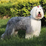 Gray & White Old English Sheepdog