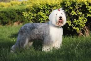 Gray & White Old English Sheepdog