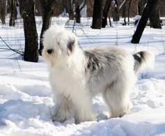 Grizzle & White Old English Sheepdog