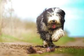Black & White Old English Sheepdog Running