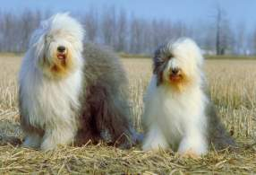 Two Gray & White Old English Sheepdogs