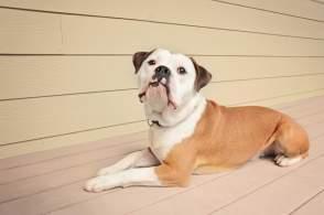 Red Olde English Bulldog Lying Down