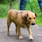 Tan Patterdale Terrier