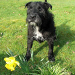 Black Patterdale Terrier