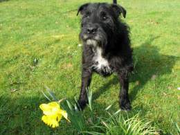 Black Patterdale Terrier