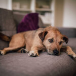 Tan Patterdale Terrier
