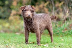 Chocolate Patterdale Terrier Puppy