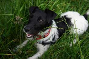 White & Black Patterjack Relaxing in the Grass