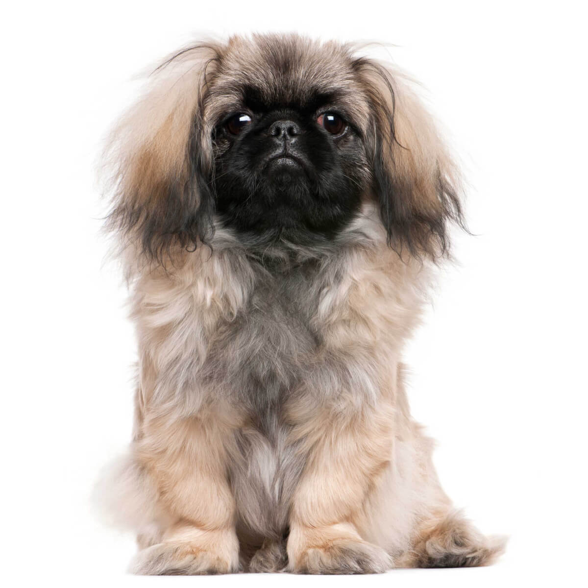 Buy Pekingese Puppies For Sale In New Jersey USA