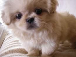 Biscuit Pekingese Puppy
