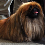 Red Sable Pekingese